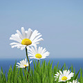 Daisies On A Cliff Edge by Andrew Dernie