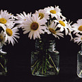 Daisies On Black by Rebecca Renfro