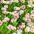 Daisies by Robert Gladwin