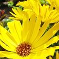Daisies Summer Garden Art Print Yellow Daisy Baslee by Baslee Troutman