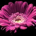 Daisy 01 by Alvin Sangma
