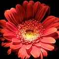 Daisy 03 by Alvin Sangma