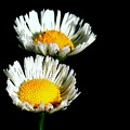Daisy 2 by Lisa Renee Ludlum