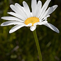 Daisy 3 by Kelley King