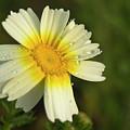 Daisy #5 by Ignacio Leal Orozco