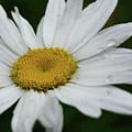 Daisy And Raindrops by Smilin Eyes  Treasures