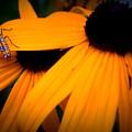 Daisy Bug by Anella Harmeyer