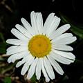 Daisy by Carl Moore