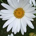Daisy Daisy by Deborah Brewer