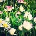 Daisy Daisy by In Plain Sight