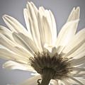 Daisy by Danielle Silveira