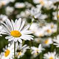 Daisy Day by Karin Pinkham