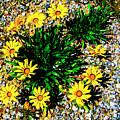 Daisy Decor by Douglas Barnard