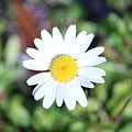 Daisy by Emily Shand