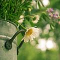 Daisy Escape by Jani Freimann