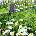 Daisy Fence by Susan Cole Kelly