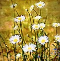 Daisy Field by Donna Bentley