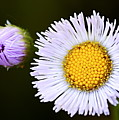 Daisy Fleabane 3 by Larry Ricker