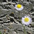 Daisy Fleabane Flowers by Camryn Zee Photography