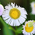 Daisy Fleabane by Larry Ricker