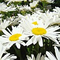 Daisy Flower Field Art Prints White Daisies by Baslee Troutman