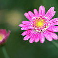 Daisy Flower by Pradeep Raja Prints