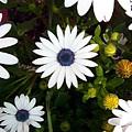 Daisy Forms by Caroline  Urbania Naeem