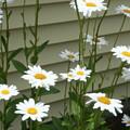 Daisy Garden by Amy Holmes
