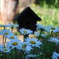 Daisy Garden by Lori Tambakis