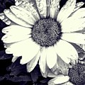 Daisy In Black And White  by Kat J