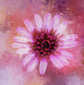 Daisy In Magenta by Terry Davis