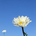Daisy In The Sky by Dawn Marshall