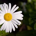 Daisy In The Sun by Carl Salonen