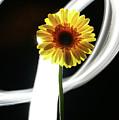Daisy In White by Bruce Bradley