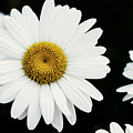 Daisy by Lonna Egleston
