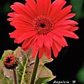 Daisy Matt Red Gerbera  by Angelcia Wright