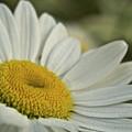 Daisy by Michael Peychich