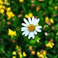 Daisy by Noah Cole