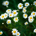 Daisy Patch by Todd Klassy
