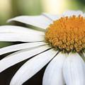 Daisy Petals by Angela Murdock