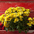 Daisy Plant In Drawers by Garry Gay