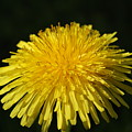Dandelion by Richard McIntire