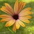 Daisy Smiles by Nancie DeMellia
