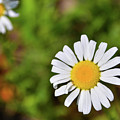 Daisy by Soni Macy
