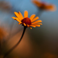 Daisy Standout by Mike Reid