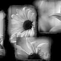Daisy Study by Lauren Radke