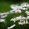 Daisy Summer Sunshine by Web Browning