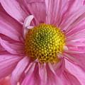 Daisy by Susan Rice