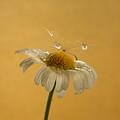 Daisy Tears by Barbara St Jean