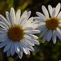 Daisy Twins by Whispering Peaks Photography